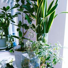 暮らし/おうちの美化委員/グリーンのある暮らし/グリーンインテリア/グリーン/水耕栽培/... 今朝の写真です。 我が家の観葉植物🌿🌿🌿…