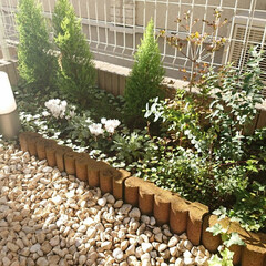 シクラメン/ガーデニング/お庭 お庭に植えたシクラメンが、馴染んで来まし…