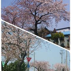 春/花見/桜 ようやくこちらも桜が 咲き始めました(੭…