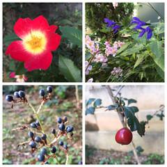 愛犬/ヤブミョウガの実/サンザシの実/お家のお花 いつのまにかブルーのキレイな実が👀ヤブミ…