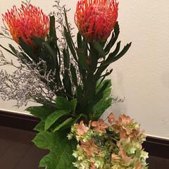 お散歩/愛犬/柏葉紫陽花/ピンクッション ピンクッション♡ 可愛くて好きなお花。 …