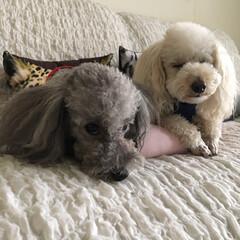 トイプードル/愛犬/犬 とても寒い朝です。 とくにモカちゃん(男…