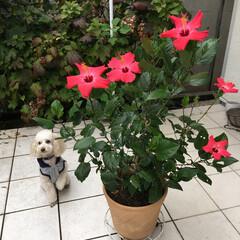愛犬/ハイビスカス 寒くなってから急にハイビスカスが咲き始め…