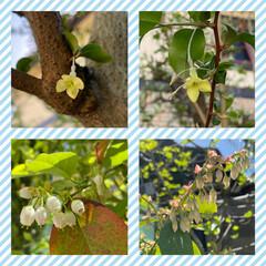 ドーナツ/明太子パスタ/ブルーベリー/ビックリグミの花 こんにちは♡♡ 裏庭に白い花がいっぱい咲…(1枚目)