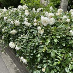 18歳/看板猫/猫/ハンバーグ/薔薇/お散歩 おはようございます(^-^)/ 昨日も歩…(4枚目)