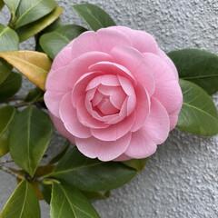 椿赤/椿ピンク とても大きな花が咲きました🎵 赤い椿❤️…(2枚目)