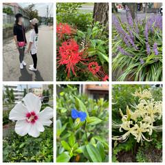 お散歩/夕飯/猫/お花/満月 今朝は曇りだったから涼しいかなぁとおもっ…(1枚目)