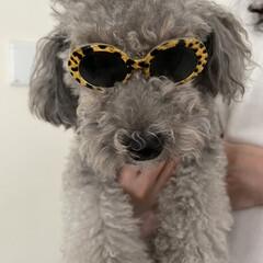 犬用サングラス/ダイソー DAISOで犬用サングラス見つけました🕶…(4枚目)