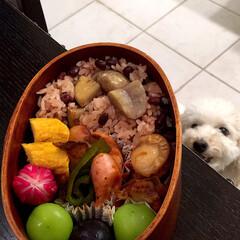 愛犬/お弁当/時短レシピ/犬 娘弁当♡  栗おこわ 卵焼き ホワイトソ…