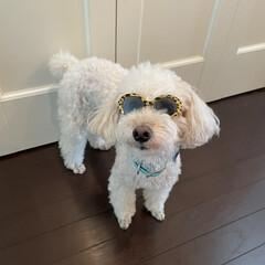 犬用サングラス/ダイソー DAISOで犬用サングラス見つけました🕶…(1枚目)