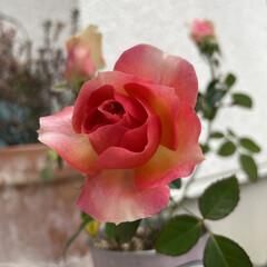 ミニ薔薇 おはようございます🎶 1ヶ月以上前にお花…(1枚目)