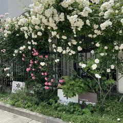 18歳/看板猫/猫/ハンバーグ/薔薇/お散歩 おはようございます(^-^)/ 昨日も歩…(3枚目)