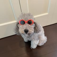 犬用サングラス/ダイソー DAISOで犬用サングラス見つけました🕶…(2枚目)