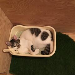 猫/猫砂/猫トイレ 暑いから? トイレの砂でまったりと…。何…