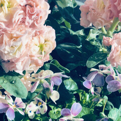 花の手入れ/花/庭/イマニワ/転勤生活/ビオラ/... ガーディニング始動 今年はビオラやパンジ…