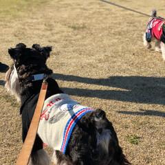犬服/ミニチュアシュナウザー/シュナウザー/ドッグ/旅行/三重旅行/... 今日は三重まで旅行がてら友人達と ドッグ…