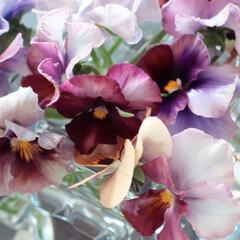 ヌーヴェルヴァーグ/ビオラヌーベルバーグ/花のある暮らし/庭のある暮らし/色とりどり/ビオラ/... 冬庭 今年は賑になりそう 庭で摘んだ 花…