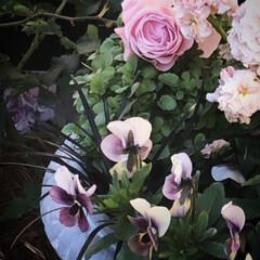 ガーディング/庭/犬のいる暮らし/ピンクのバラ/ビオラ/ラマリエ/... わが家の冬バラ 河本バラ園のラマリエ と…