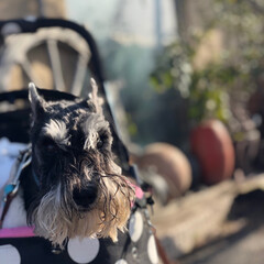 犬との暮らし/散歩/元気/15歳/シュナウザー/ミニチュアシュナウザー/... うちの子ベストショット 15歳のNOIR…