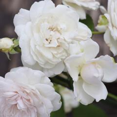 ガーディニング/ローズガーデン/ローズ/バラのある暮らし/シルバーローズ/ブルーローズ/... わたしのお気に入りの バラは、シルバーブ…