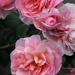 ダムドゥシュノンソー/ガーディニング/バラのある暮らし/ローズ/バラ/花のある暮らし/... 転勤地方、雨は止んだけど 強風でバラの新…