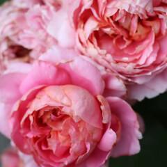 ローズ/庭のある暮らし/バラのある暮らし/バラ/庭/令和の一枚/... 庭のバラ ムーラン ドゥ ラ ギャレット…