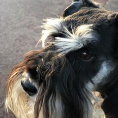 dog/髭犬/シュナウザー/ミニチュアシュナウザー/犬/夕暮れ時/... 今日の夕暮れ時 最近10000歩をノアー…(1枚目)