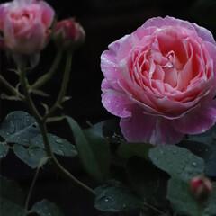 デルバール/クロードモネ/ローズガーデン/ローズ/バラ/バラのある暮らし/... 夜のバラの備忘録  やっと咲き始めた お…