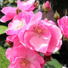 バラ苗 2年大株 4号 アンジェラ Climbing Roses C0834 クライミング ローズ 母の日(花)を使ったクチコミ「今年も無事に咲いた庭のバラ アンジェラは…」