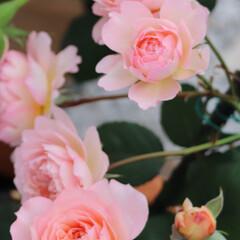 ドミニクマサド/ドミニクローズ/アンドレチュルカ/マルセイユ アンドレチュルカ/バラのある暮らし/花のある暮らし/... 今日のバラ🌹 🥀マルセイユ アンドレチュ…