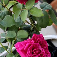 Rose/ローズ/ウイリアムシェークスピア/マリメッコのある暮らし/バラ/令和の一枚/... 朝の1枚 今日のバラ🌹 ウイリアムシェー…