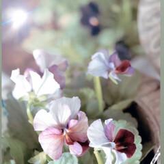 秋花/秋/庭のある暮らし/花/ビオラ/花のある暮らし/... イマニワ  今日の水やりも完了 希少だと…