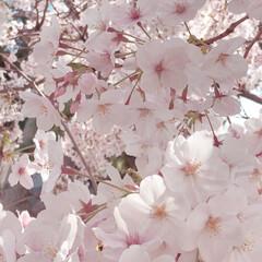花のある暮らし/儚い/なんとなく/平成最期の桜/平成/🍘/... 平成最期の桜 今年は何気に綺麗だったよう…
