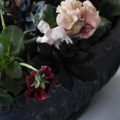 庭のある暮らし/チョコレートカラー/冬庭/アンティークカラー/ビオラ/花/... ガーディニング 冬の寒空の中 元気に咲い…