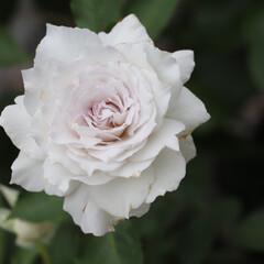 ブルーローズ/青バラ/イマニワ/ガブリエル/ヘブンシリーズ/天使シリーズ/... わたしのお気に入りのバラ  今日は繊細な…