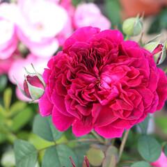バラ育ててます/ピンク/ウイリアムシェークスピア/バラ/バラのある暮らし/花のある暮らし/... こんにちは 台風のように雨風が強い 転勤…