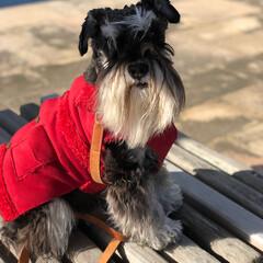 お散歩/テリア/シュナウザー/ミニチュアシュナウザー/髭犬/犬/... うちの子ベストショット 毎朝の長距離散歩…
