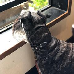 シュナウザー/ミニチュアシュナウザー/犬/ドッグカフェ/カフェ/おでかけ/... 週末はドッグカフェ行ってきました。 ノア…