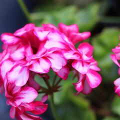 庭のある暮らし/花のある暮らし/転勤族の庭/転勤族/アイビーゼラニューム/ゼラニューム/... 日々のガーディニングで 大切に育ててる花…
