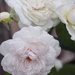 庭のある暮らし/バラのある暮らし/ガーディニング/ブルーローズ/青バラ/バラ/... ブルー系のバラですが 今年は残念な事に …