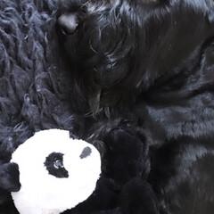 お気に入り/おもちゃ/モノトーンインテリア/モノトーン/ペット/犬のいる暮らし/... わが家の大きな やんちゃさん息子 ジャイ…
