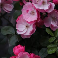 Rose/ローズ/花/植物/転勤族/転勤族の庭/... ガーディニング中のバラ 夜のバラはいっそ…