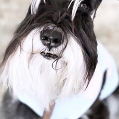 BLACK/犬との暮らし/シュナウザーとの暮らし/シュナウザー/ミニチュアシュナウザー/犬/... わが家の息子君は BLACK   Whi…