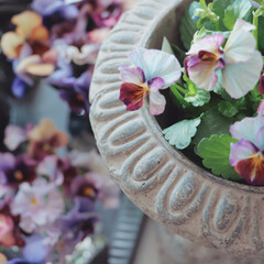 マイガーデン/ヌーベルバーグ/ブルー/庭のある暮らし/庭仕事/ガーディニング/... 今日の花 一風変わった珍しい ヌーベルバ…
