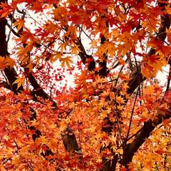 紅葉/落ち葉/冬到来/週末/軽井沢/長野/... 旅の景色 寒い地方の長野はとても綺麗でし…