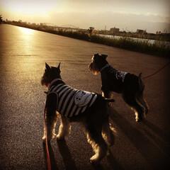ペット/うちの子ベストショット/犬/dog/ミニチュアシュナウザー/シュナウザー/... 夕日を見ながらのお散歩 NOIRとブラン…