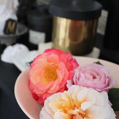 マルセイユ アンフルール/転勤族の庭/バラ/花/転勤族/植物/... 今週の開花 次なるは、 🌹マルセイユ ア…