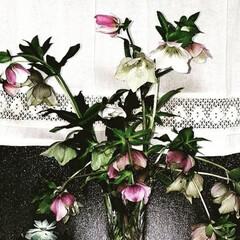 クリスマスローズ/花/必需品/暮らし クリスマスローズ🥀 沢山咲いたので花瓶に…