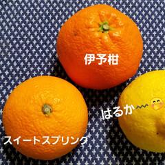 はちみつレモン/檸檬の木/みかん 先日、庭の残りの🌳🍋で、はちみつレモンに…(2枚目)