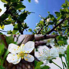庭のある暮らし/庭の木/果物/ハーブ/実のなる木/住まい/... 皆さん、少し(*´ω`)人(´ω`*)オ…